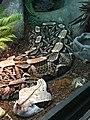 Víbora de Gabon (Bitis gabonica).jpg