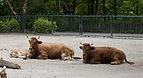 Vaca (Bos primigenius taurus), Tierpark Hellabrunn, Múnich, Alemania, 2012-06-17, DD 02.JPG