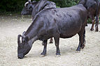 Vaca (Bos primigenius taurus), Tierpark Hellabrunn, Múnich, Alemania, 2012-06-17, DD 03.JPG