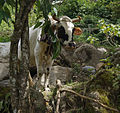 Vaca Pastando I.JPG