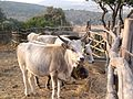 Vacche maremmane - panoramio.jpg