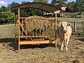 Vache Pré Route Couchant - Coligny (FR01) - 2020-09-15 - 1.jpg