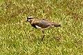 Vanellus chilensis (30396296660).jpg