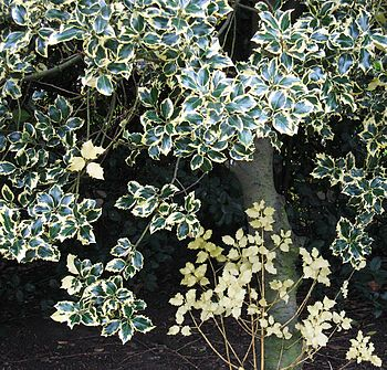 Variegation in holly leaves