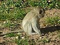 Velvet Monkey at Sodwana Bay National Park - panoramio.jpg