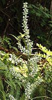 Veratrum album subsp. oxysepalum flower s2.JPG
