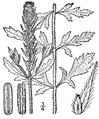 Verbena bracteata.png