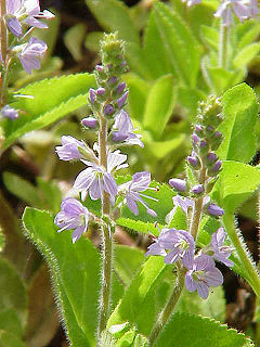 Verónica (Veronica officinalis L.)