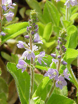 Veronica officinalis0