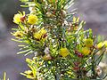 Verticordia staminosa subsp. cylindracea var. erecta.jpg