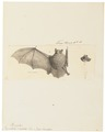 Vespertilio suillus - 1700-1880 - Print - Iconographia Zoologica - Special Collections University of Amsterdam - UBA01 IZ20800139.tif