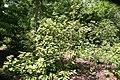 Viburnum lantana Variegata 3zz.jpg