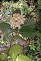 Viburnum nudum 5zz.jpg
