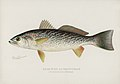 Vintage illustrations by Denton from Game Birds and Fishes of North America digitally enhanced by rawpixel 21.jpg