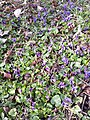 Viola odorata sl23.jpg