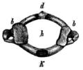 Virchow - Menschen- und Affenschädel - 10 b1.png