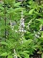 Vitex negundo heterophylla - Flickr - peganum (1).jpg