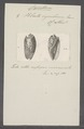 Voluta cymbium - - Print - Iconographia Zoologica - Special Collections University of Amsterdam - UBAINV0274 087 03 0014.tif