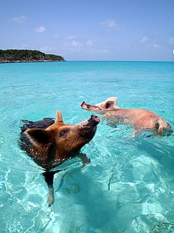 Vorobek Bahamas - swimming pigs.jpg