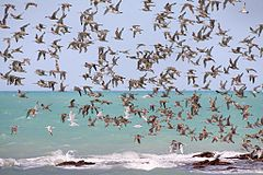 Flock of birds in flight above a rocky beach