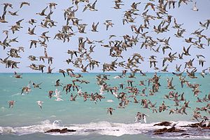 Roebuck Bay - Waders in flight across Roebuck Bay