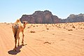 Wadi Rum landscape and a camel (12465347644).jpg