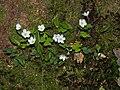 Waldsauerklee Oxalis acetosella-001.jpg