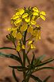 Wallflower (Erysimum asperum) (9472116559).jpg