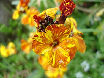 Wallflower (Erysimum cheiri) in Paris, France