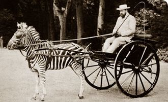 Tring - Walter Rothschild and his carriage drawn by zebras.