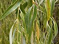 Weeping Willow leaf (3212275000).jpg