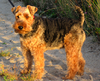 Welch Terrier on sand - 2007.png