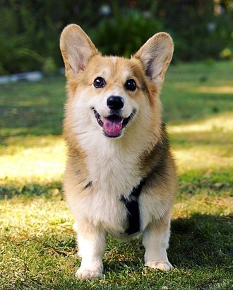 Welsh Corgi - A Pembroke Welsh Corgi, the more common of the two breeds of Corgi