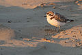 Western Snowy Plover watches the sun set over the Pacific Ocean.jpg