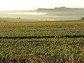 Wheat field, near Stapleford, Wiltshire - geograph.org.uk - 871896.jpg