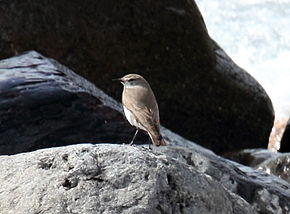 Description de l'image White-browed Ground-Tyrant (Muscisaxicola albilora) (15774926697).jpg.