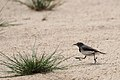 White-fronted Chat (23017260139).jpg