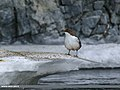 White-throated Dipper (Cinclus cinclus) (28031691939).jpg