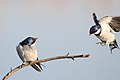 White-throated Swallow, Hirundo albigularis at Marievale Nature Reserve, Gauteng, South Africa (9700123957).jpg