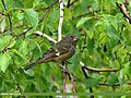 White-winged Grosbeak (Mycerobas carnipes) (20666239828).jpg