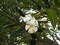 White Frangipani.jpg