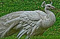 White Indian peafowl (Lahore Zoo) by Damn Cruze.jpg