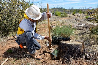 Silviculture - An employee of the White Mountain Apache Tribe forestry department uses a hoedad to dig a hole for a ponderosa pine seedling in the shade of a burned tree stump, which protects the seedling from windy conditions that dry the trees.