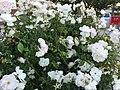 White Roses (151883945).jpeg