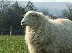 White Welsh Mountain sheep