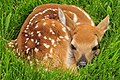 White tailed deer fawn in grass Sand Lake NWR (14694197190).jpg
