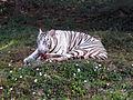 White tiger at IGZoo park.jpg