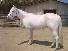 A stocky Camarillo White horse, with a white coat, pink skin, and dark eyes.