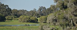 Whiteman park swans.JPG