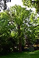 Wien-Hietzing - Naturdenkmal 464 - Baumhasel (Corylus colurna) II.jpg